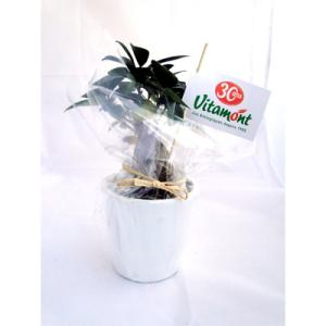 Le Ficus Ginseng - grand format